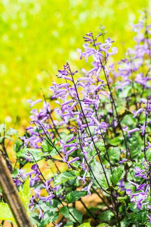 violet flowers: Violet flowers in the garden, Thailand.
