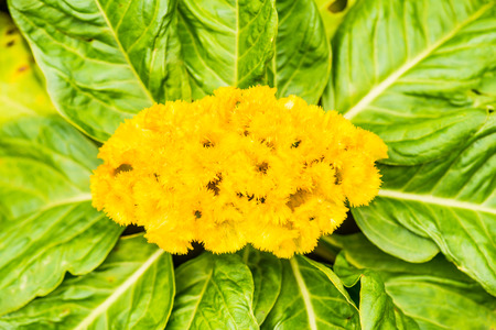 Close Up of Cockscomb Flower, Thailand. Stock Photo