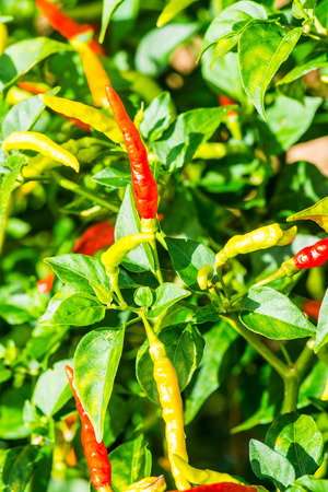 Fresh chili on plant, Thailand Stock Photo