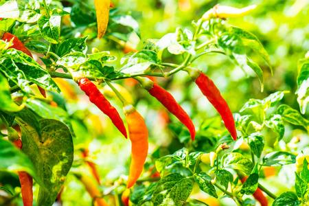 chili frais sur les plantes, la Thaïlande Banque d'images