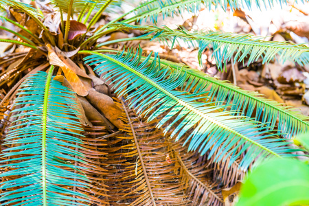 siamensis: Close up of Cycas siamensis Miq., Thailand. Stock Photo