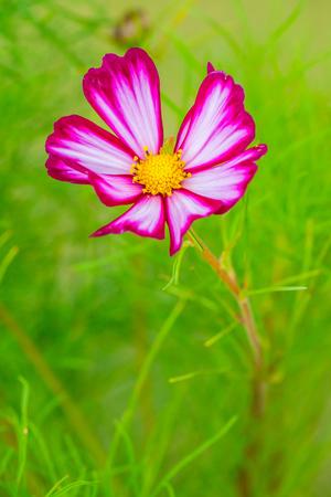 Beautiful cosmos flower, Thailand.