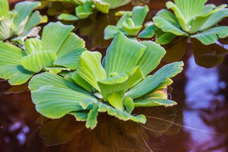 Duckweed in basin, Thailand.
