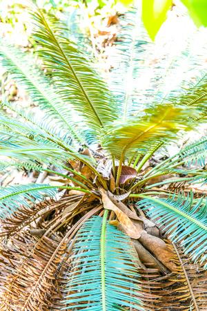 Close up of Cycas siamensis Miq., Thailand. Stock Photo