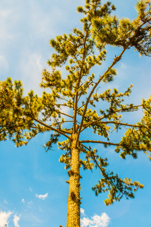 Pine tree with blue sky, Thailand.