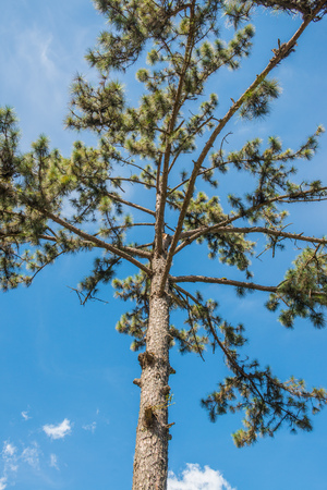 pinery: Pine tree with blue sky, Thailand.