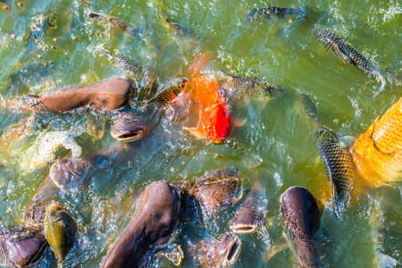 Group of fish in lake, Thailand.