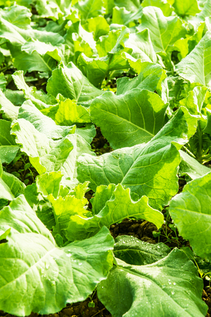 Green Chinese kale in vegetable garden, Thailand.