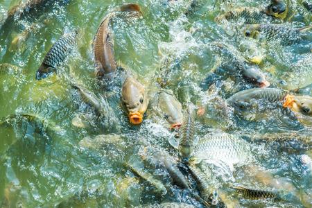 koi: Group of fish in lake, Thailand.