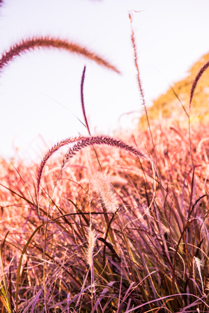 Grass flowers with blue sky in nature, Thailand. Stock Photo