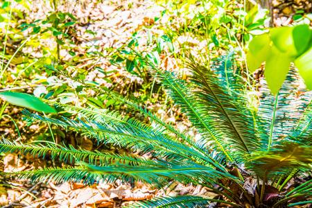 siamensis: Close up of Cycas siamensis Miq., Thailand. Stock Photo