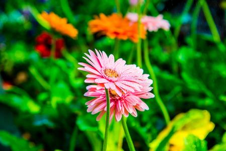 drop in: Gerbera flowers with drop in garden, Thailand. Stock Photo