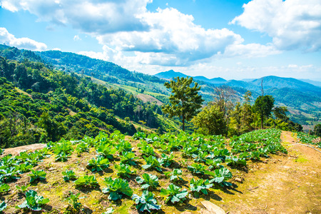 Agriculture on mountain at Chiangrai province, Thailand.