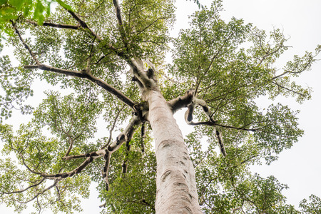 phu: Big tree in Phu Sang national park, Thailand.