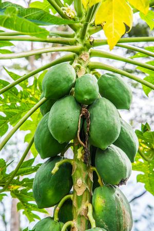 Papaya fruits on the tree, Thailand.