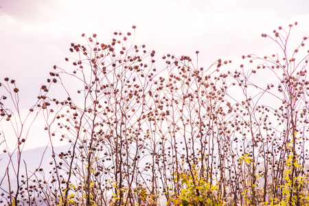 flores secas: Dried flowers with mountain view, Thailand.