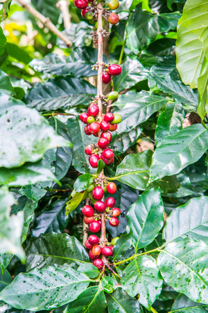 coffee harvest: Coffee beans on tree, Thailand.