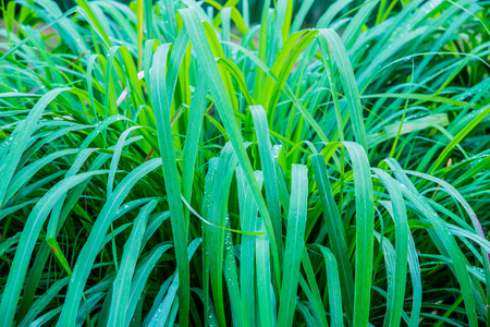 Background of Vetiver Grass, Thailand.