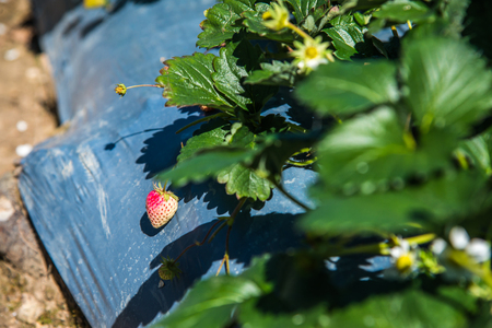 Fresh strawberries on plant, Thailand. Stock Photo