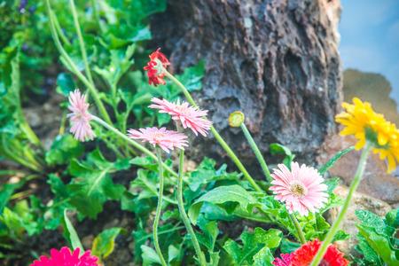 Gerbera flowers with drop in garden, Thailand. Stock Photo
