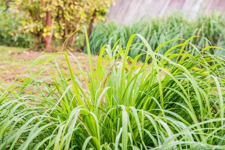 Background of Vetiver Grass, Thailand.