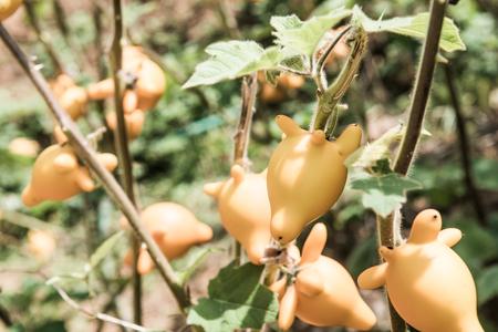 Titty or nipple fruit on plant, Thailand. Stock Photo