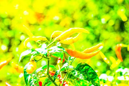 Fresh chili on plant, Thailand Stock Photo