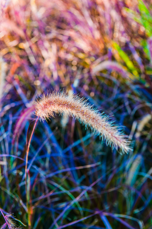 Grass flowers in nature, Thailand. Stock Photo