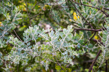 Leaf of Queenland Silver Wattle Plant, Thailand. Stock Photo