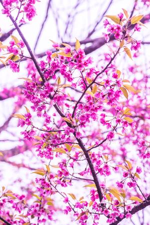 chaingmai: Pink Sakura Flowers in Thai, Thailand.