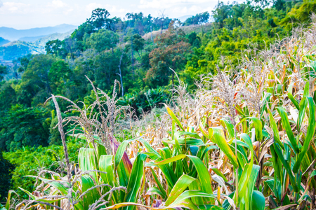 Mountain view with corn plant at Chiangrai province, Thailand.