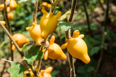 branch to grow up: Titty or nipple fruit on plant, Thailand. Stock Photo