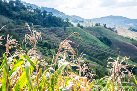 fa: Mountain view with corn plant at Chiangrai province, Thailand.