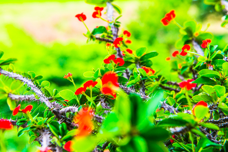 poi: Poi Sian flowers with natural view, Thailand. Stock Photo