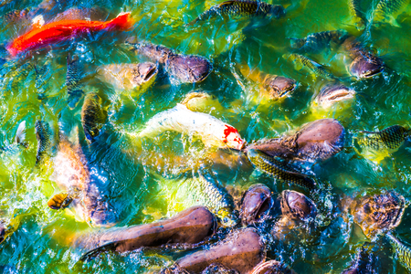 fish tail: Group of fish in lake, Thailand.