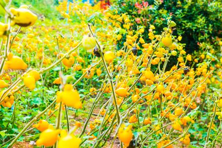 Titty or nipple fruit on plant, Thailand. Reklamní fotografie
