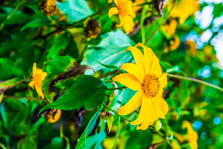 sunflower seeds: Mexican sunflower weed in park, Thailand.