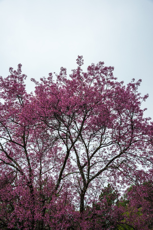 Pink Sakura Flowers in Thai, Thailand.