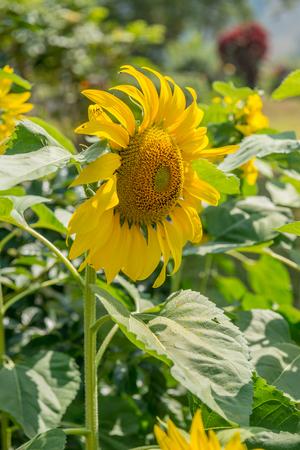 sunflower seeds: Sunflower field in Thai country, Thailand.