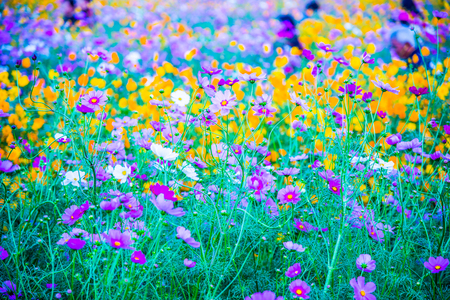 Beautiful cosmos flowers, Thailand.