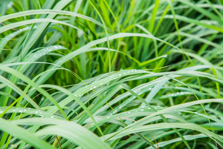Background of Vetiver Grass, Thailand. Stock Photo