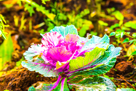 flowering kale: Ornamental cabbages in park, Thailand.