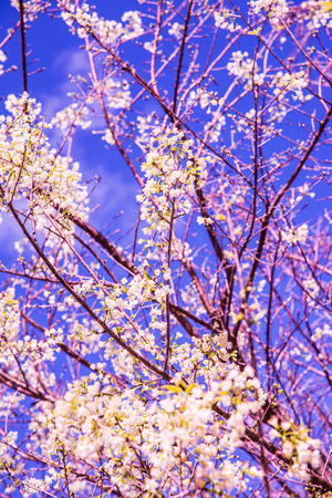 White cherry blossom flower with sky, Thailand.