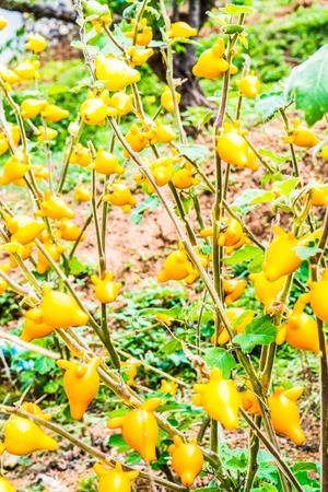 식물, 태국에 젖꼭지 또는 젖꼭지 과일입니다. 스톡 콘텐츠