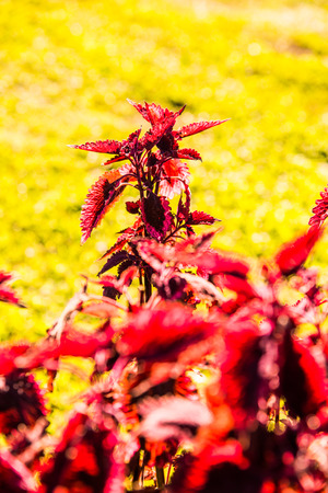 Red leaves in the garden, Thailand.