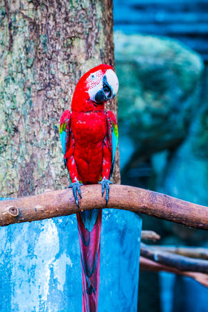 Red macaw in Thai, Thailand.