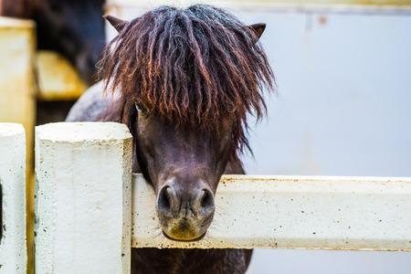 Face of Falaballa Miniature Horse, Thailand. Stock Photo