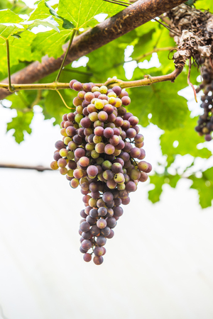 sweetly: Wine grapes in Thai, Thailand.