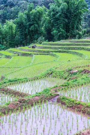 chiangmai province: Rice terraces in Chiangmai province, Thailand.