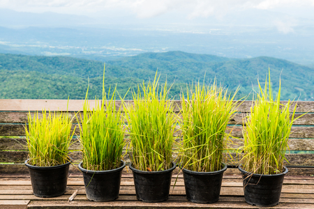 Vetiver grass in flowerpot with natural view, Thailand.